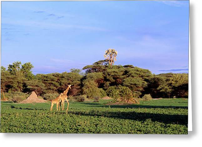 Four Animals Greeting Cards - Giraffes In A Field, Moremi Wildlife Greeting Card by Panoramic Images