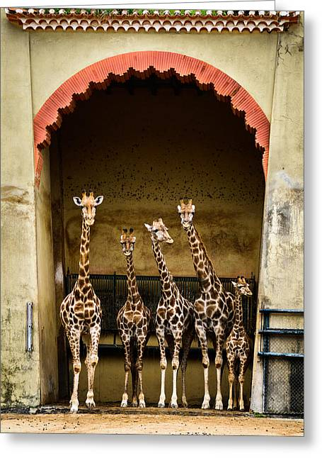 Lineup Greeting Cards - Giraffes Lineup Greeting Card by Marco Oliveira