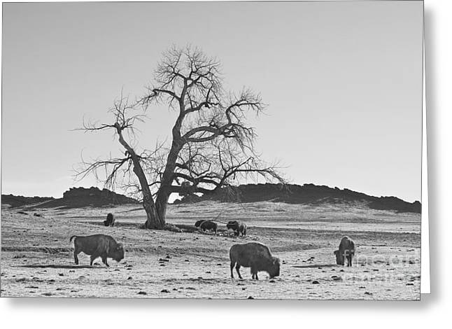 Buffalo Greeting Cards - Give Me A Home Where The Buffalo Roam BW Greeting Card by James BO  Insogna