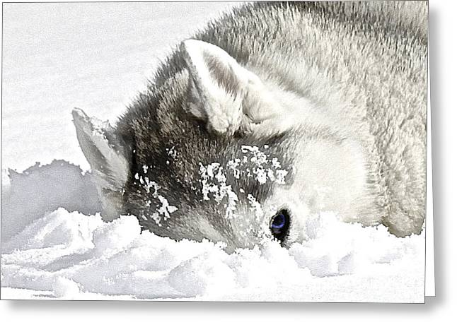 Husky Greeting Cards - Giving Me The Eye Greeting Card by May Finch