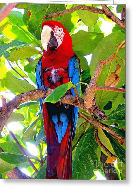 Jerome Stumphauzer Greeting Cards - Gizmo the Macaw Greeting Card by Jerome Stumphauzer