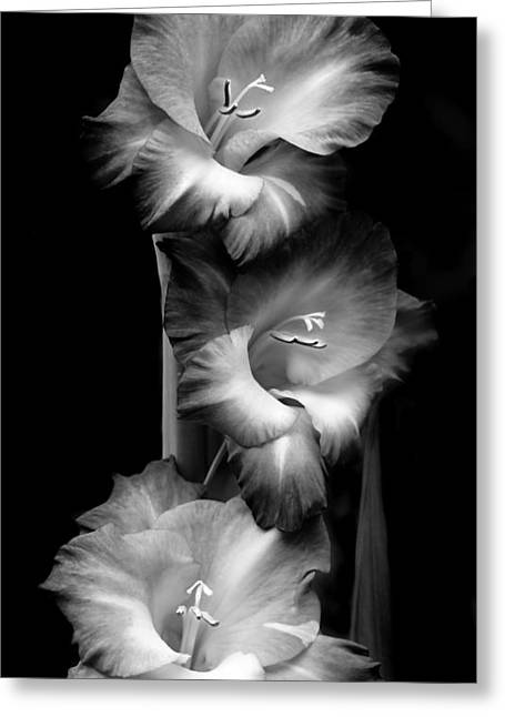 Gladiola Flowers Evening Light Black And White Greeting Card by Jennie Marie Schell