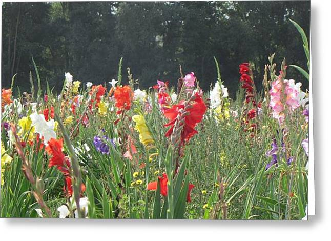 Gladiole Greeting Cards - Gladiolus Field Greeting Card by Wello Karron