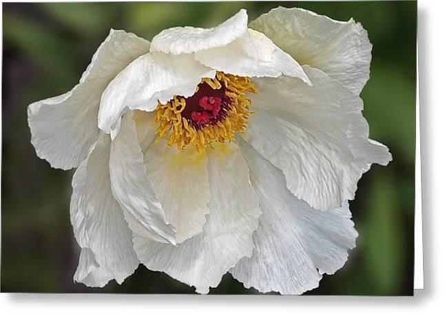 Graceful Tree Greeting Cards - Glamorous White Tree Peony Greeting Card by Gill Billington
