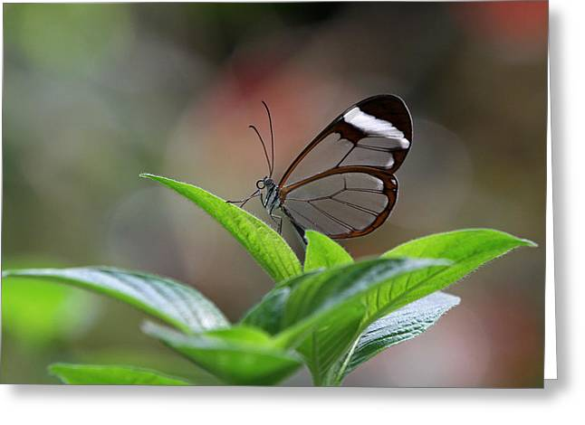 Glasswing Butterfly Greeting Card by Juergen Roth