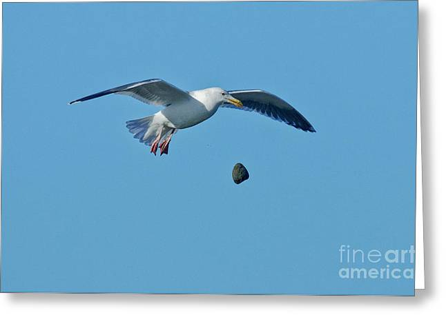 Clever Greeting Cards - Glaucous-winged Gull Breaks Clam Greeting Card by Anthony Mercieca