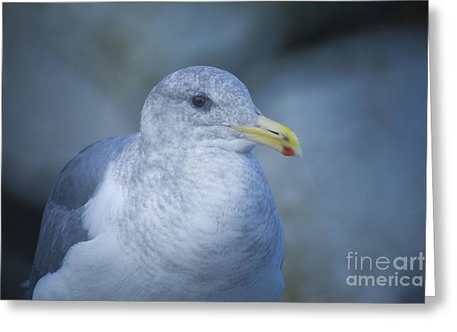 Nature Greeting Cards - Glaucous Winged Gull Greeting Card by Graham Foulkes