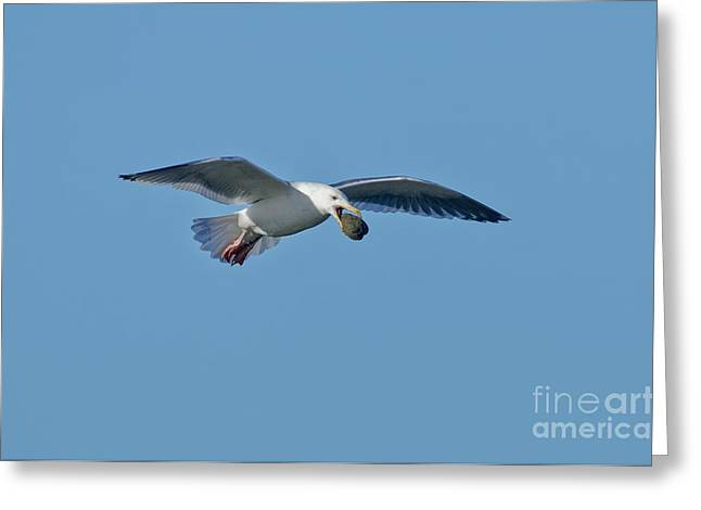 Clever Greeting Cards - Glaucous-winged Gull With Clam Greeting Card by Anthony Mercieca
