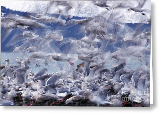 Flying Seagull Greeting Cards - Glaucous-winged Gulls Greeting Card by Ron Sanford