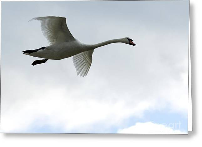 Flying Mute Swan Greeting Cards - Gliding In For The Night Greeting Card by Deborah  Smith