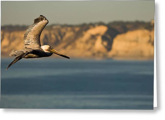 Gliding Pelican Greeting Card by Sebastian Musial