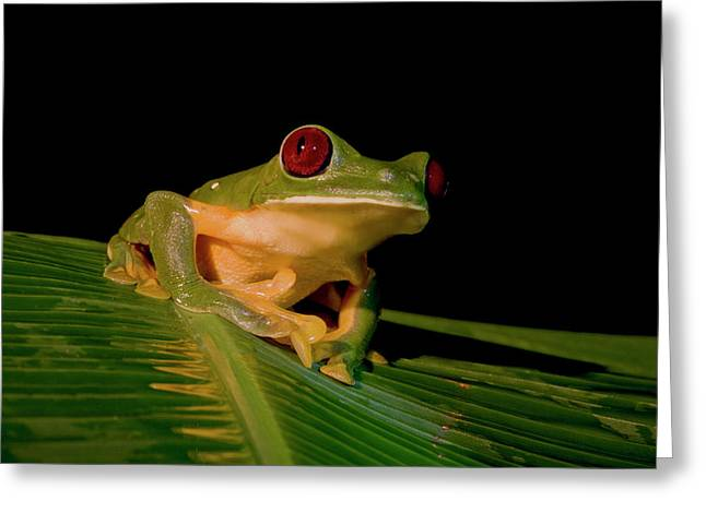 Gliding Tree Frog (agalychnis Spurrelli Greeting Card by Thomas Wiewandt
