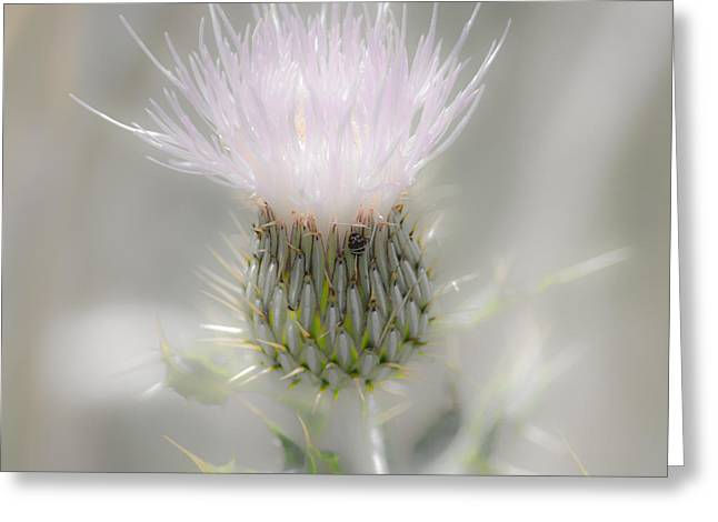 Square Format Greeting Cards - Glimmering Thistle Greeting Card by Debra Martz