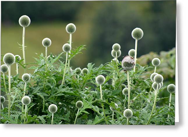 Globe Thistle Field Greeting Card by Emanuel Tanjala
