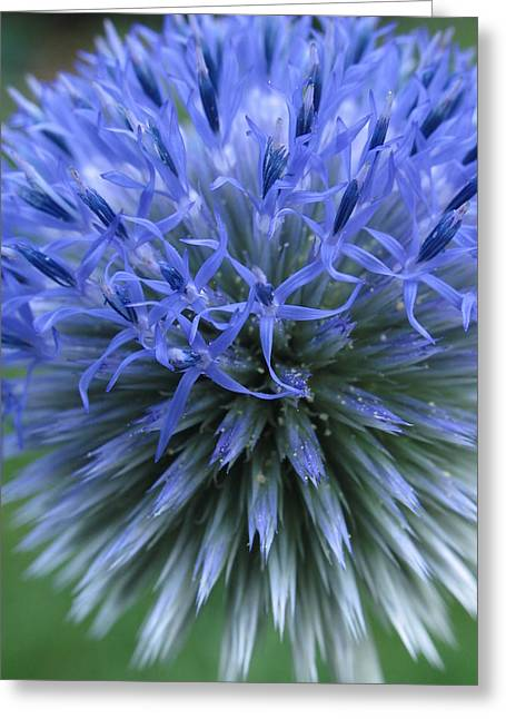Blue Thistles Greeting Cards - Globe Thistle Greeting Card by Juergen Roth