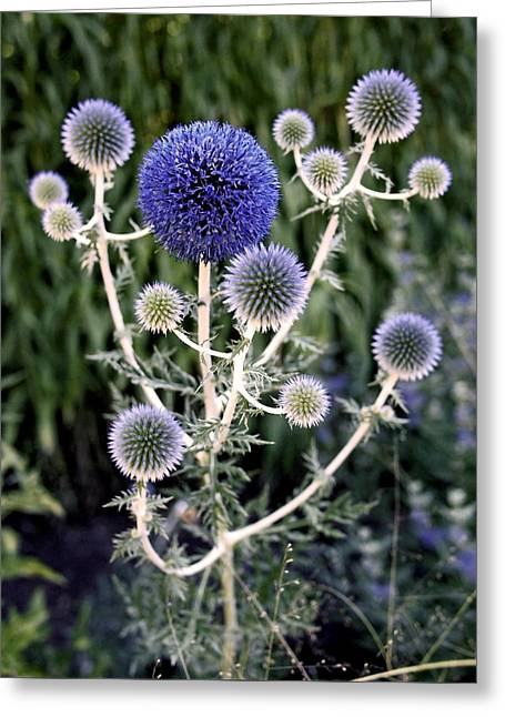 Alliums Greeting Cards - Globe Thistle Greeting Card by Rona Black