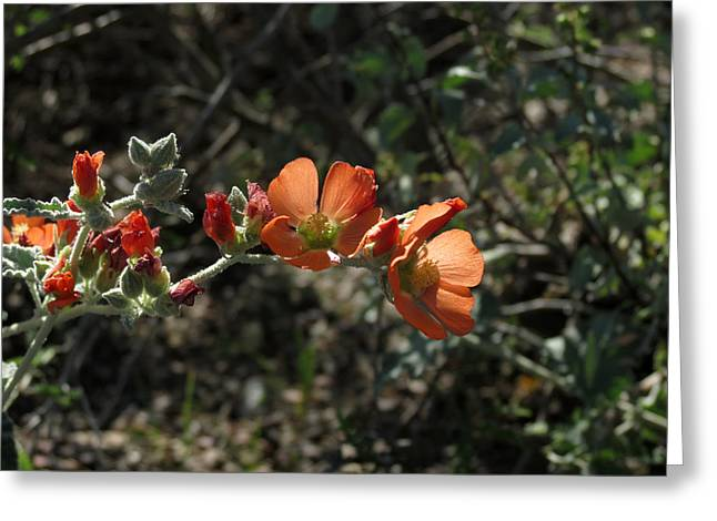 Sphaeralcea Greeting Cards - Globemallow Greeting Card by Laurel Powell