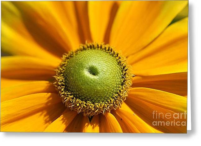 Prairie Style Greeting Cards - Gloriosa Daisy Greeting Card by Corey Ford