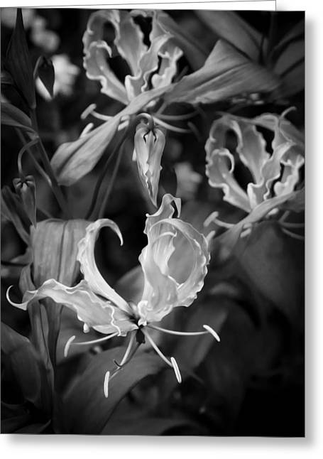 Crimson Lilies Greeting Cards - Gloriosa Lily Flame Lily Fire Lily  BW Greeting Card by Rich Franco