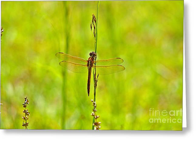 Dragon Fly Photo Greeting Cards - Glorious Golden-winged Greeting Card by Al Powell Photography USA