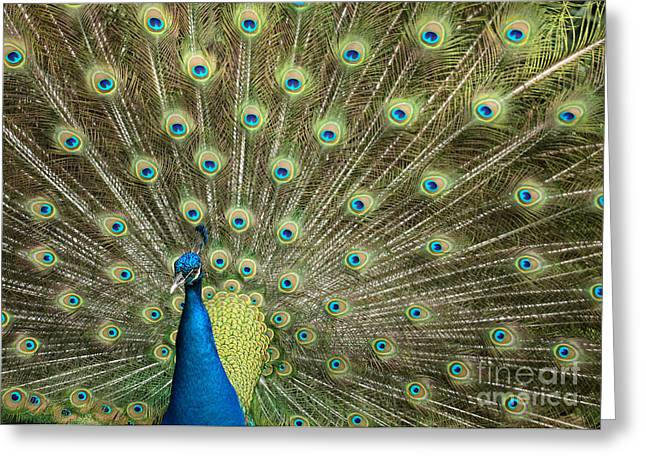 Amazing Gardens Greeting Cards - Glorious Peacock Feathers Greeting Card by Sabrina L Ryan