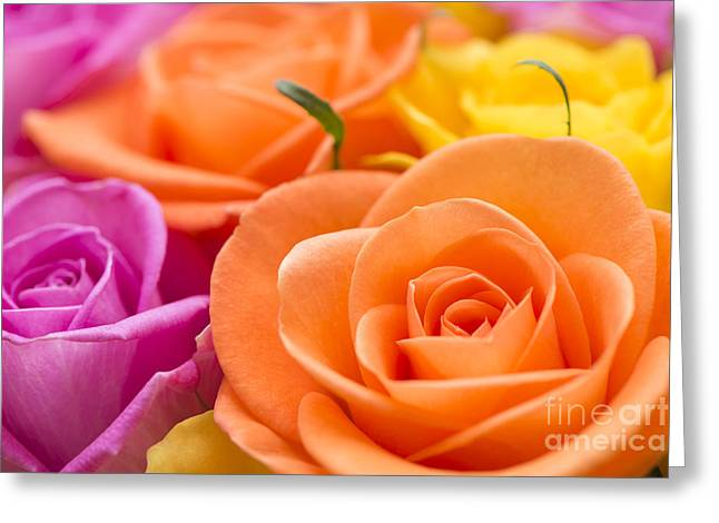 Glorious Roses Greeting Card by Anne Gilbert