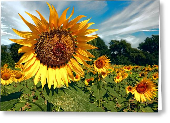 Harvest Time Greeting Cards - Glorious Sunflower Greeting Card by Daniel Hagerman
