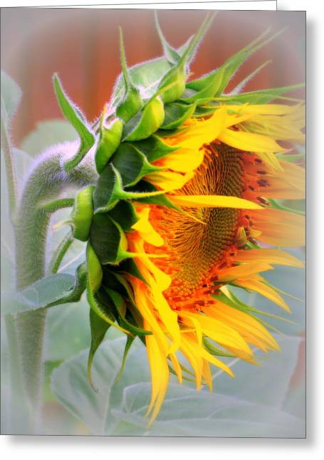 Kkphoto1 Greeting Cards - Glorious Sunflower Greeting Card by Kay Novy
