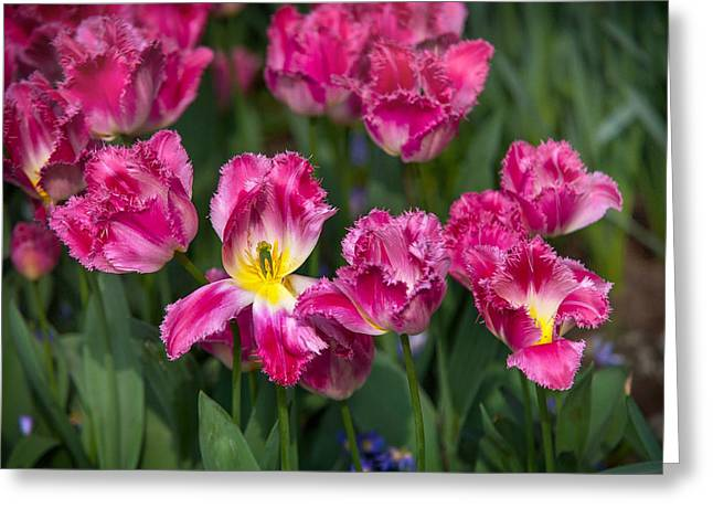 Crazing Greeting Cards - Glorious Tulips Display in Keukenhof Botanical Garden 2. Netherlands Greeting Card by Jenny Rainbow