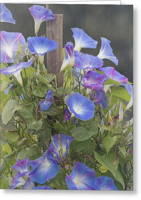 Morning Glories Greeting Cards - Glory in the Morning Greeting Card by Kim Hojnacki