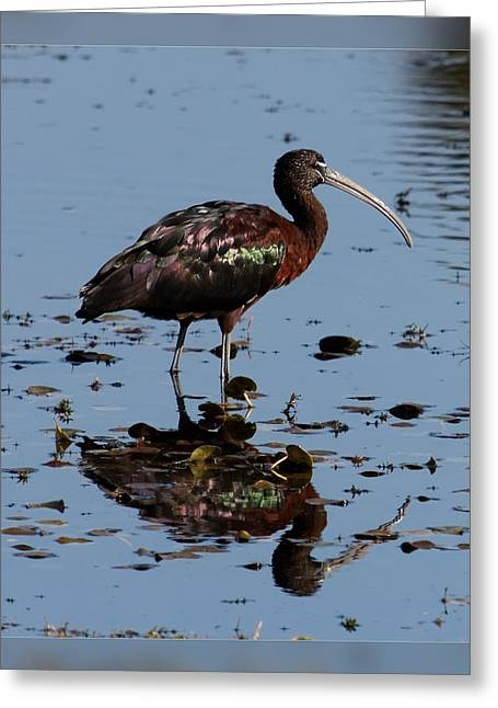 Wildlife Refuge. Greeting Cards - Glossy Ibis II Greeting Card by Dawn Currie