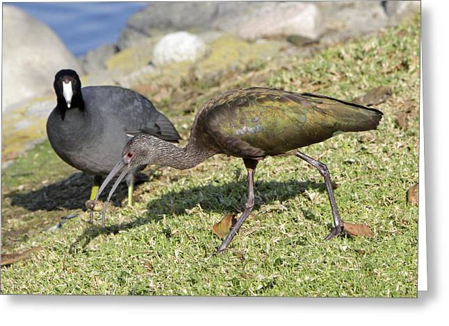Glossy Ibis Greeting Card by Shoal Hollingsworth