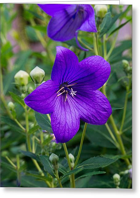 Platycodon Greeting Cards - Glowing Balloon Flower Greating the Morning Greeting Card by Douglas Barnett