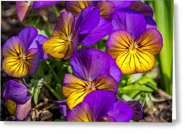 Johnny Jump Up Pansy Greeting Cards - Glowing Greeting Card by Debbie Orlando