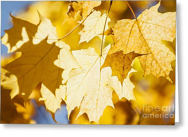 Backlit Greeting Cards - Glowing fall maple leaves Greeting Card by Elena Elisseeva