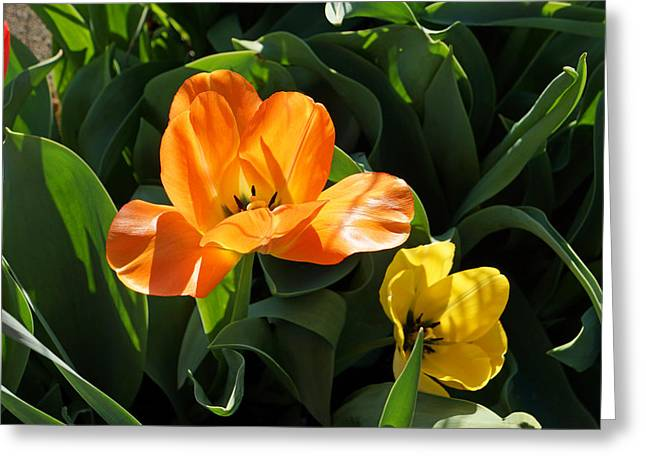 Popular Flower Art Greeting Cards - Glowing Orange Tulip Flower Art Prints Greeting Card by Baslee Troutman