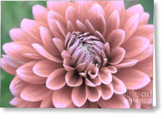 Pinks And Purple Petals Greeting Cards - Glowing Petals Greeting Card by Shelley Messersmith