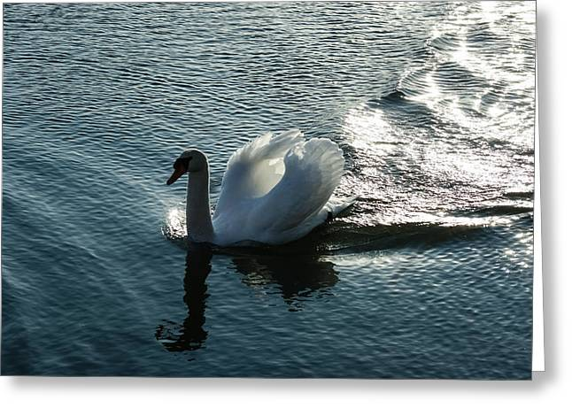 Water Fowl Greeting Cards - Glowing Silver Wake - the Pompous Territorial Swan Greeting Card by Georgia Mizuleva