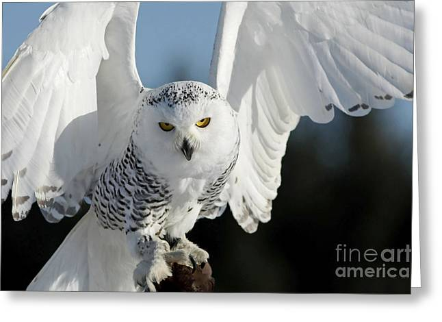 Glowing Snowy Owl In Flight Greeting Card by Inspired Nature Photography Fine Art Photography