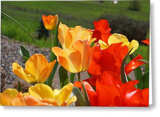 Popular Flower Art Greeting Cards - Glowing Sunlit Tulips art Prints Red Yellow Orange Greeting Card by Baslee Troutman
