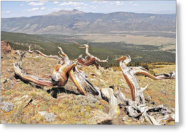 Gnarled Greeting Card by Aaron Spong