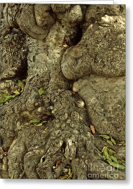 Indy Indians Greeting Cards - Gnarled Haitian Tree Trunk Greeting Card by Anna Lisa Yoder
