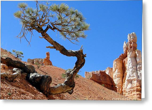 Gnarly Greeting Cards - Gnarled Pine in Bryce Canyon Utah Greeting Card by Barbie Corbett-Newmin