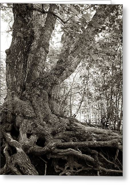 Dereske Greeting Cards - Gnarled Tree Greeting Card by Mary Lee Dereske