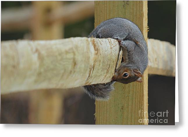 Gnawing Greeting Cards - Gnawing Squirrel Greeting Card by Traci Law