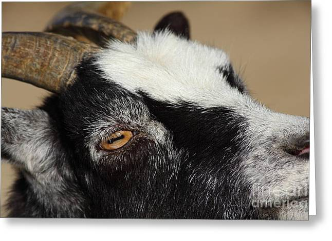 Goat 5d27189 Greeting Card by Wingsdomain Art and Photography