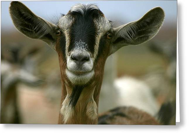 Barn Yard Greeting Cards - Goat Greeting Card by James Peterson