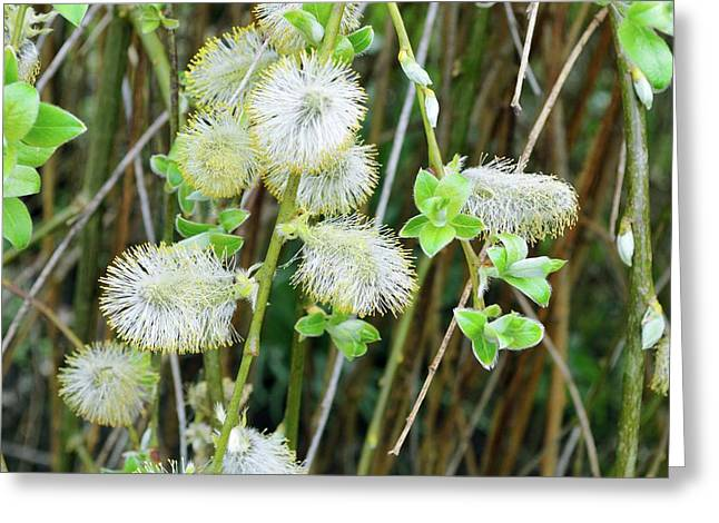 Goat Willow (salix Caprea) Flowers Greeting Card by D C Robinson