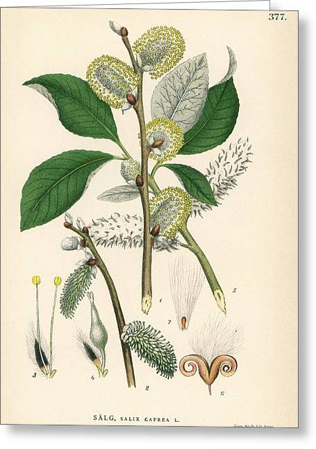 Goat Willow Tree Greeting Card by Florilegius/natural History Museum, London