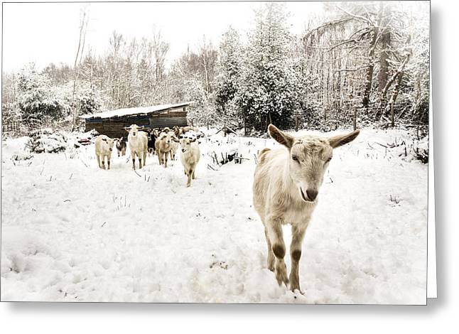Winter Scene Photographs Greeting Cards - Goats do Roam.  Greeting Card by Ian Hufton